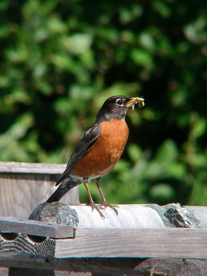 Atlas des oiseaux nicheurs du qu bec for Oiseau commun